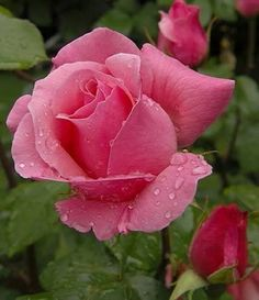 Very Beautiful Wet And Fresh Pink Rose. For You My Beautiful Friends. Beautiful Rose Flowers, Flowers Nature, Amazing Flowers, Pink Flowers, Beautiful Flowers, Beautiful Beach, Foto Rose, Rose Flower Wallpaper, Tea Roses