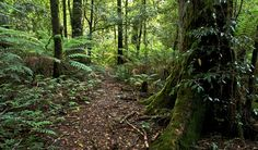 Walk through snow gums and rainforest to lookouts and waterfalls, along the Gloucester Tops circuit. This loop combines 3 popular walks in Barrington Tops National Park. Gloucester Nsw, Barrington Tops, John Spencer, Bird Watching, Circuit, Things To Do, Waterfall, National Parks, Track