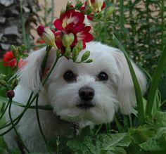 Zoe in the garden #maltese #dog