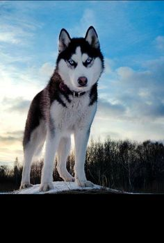 Alaskan Hasky, from iryna
