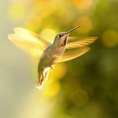 Golden Hummingbird in Flight...-- We have one that is coming to our feeder every day! Have never seen one!