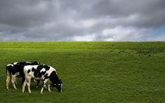Wallpaper Desktop Background Cow