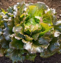 Heat Tolerant Lettuce Carioca D3202A (Red) 500 Seeds by Davids Garden Seeds David's Garden Seeds http://www.amazon.com/dp/B00YK1I4DU/ref=cm_sw_r_pi_dp_-NXIvb1G4KQW4