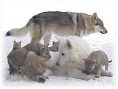 SPEAK OUT! Wolves Need Their Families to Survive! Tell Interior Secretary Sally Jewell and U. Fish and Wildlife Service Director Dan Ashe to keep wolf families protected under the Endangered Species Act. Wolf Husky, Wolf Pup, Wolf Spirit, Spirit Animal, Wolf Pictures, Animal Pictures, Beautiful Creatures, Animals Beautiful, Tier Wolf