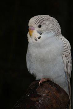 Grey parakeet