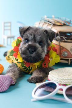 Hawaiian pup