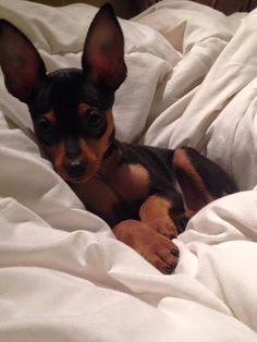 What every min pin parent should know.. We love to snuggle. We love you. We love your car. We love blankets. We love how we wrap you around our tiny little paws!