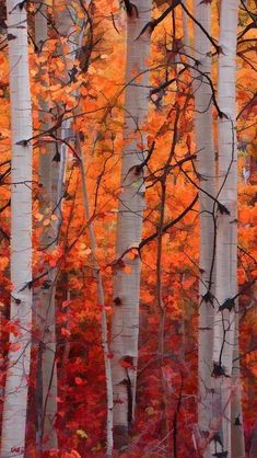 """Autumn Splendor"" by Don Schwartz: Tall aspens gloriously display their fall colors in the mountains of Colorado. Photography of Forest & Trees Autumn Scenery, Autumn Trees, Autumn Forest, All Nature, Autumn Nature, Fall Pictures, Autumn Photos, Fall Images, Belle Photo"