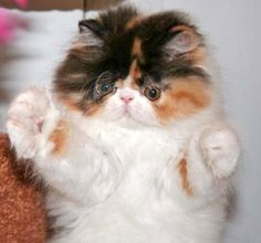 I think this Persian kitten is just adorable.