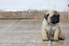 Lonely Pug