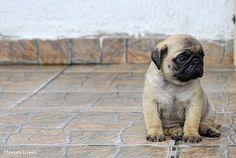 Pug cuteness overload