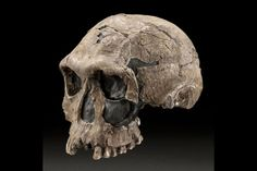 Homo habilis fossil skull. These predate homo erectus, living between 1.4 to 2.4 million years ago. Note that the teeth are not like modern apes and monkeys but like modern humans instead, giving more evidence (i.e. on top of bipedalism) that this was a human ancestor and not an early ape.