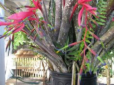 Billbergia Nutans Queens Tears | Billbergia sports about 60 species of epiphytes, but often alsocan be ...