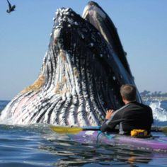 Kayaking and SUP with Whales, Sharks, Dolphins and Seals Photo Animaliere, Les Continents, Water Life, Ocean Creatures, Mundo Animal, Humpback Whale, Whale Watching, Kayak Fishing, Ocean Life