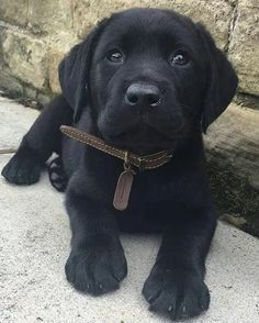 Mind Blowing Facts About Labrador Retrievers And Ideas. Amazing Facts About Labrador Retrievers And Ideas. Black Lab Puppies, Cute Puppies, Cute Dogs, Dogs And Puppies, Black Puppy, Corgi Puppies, Black Labs Dogs, Shorkie Dogs, Pomeranian Puppy