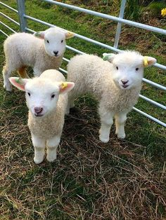 These are not ours but we did have lambs recently and they are so cute!