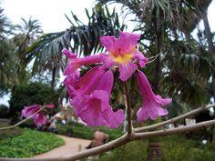Tabebuia heptaphylla