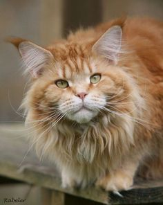 It's a baby lion! http://www.mainecoonguide.com/fun-facts-maine-coon-cats/