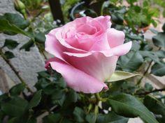 咲き始めのクレマチスとばら - 四季彩ガーデンにようこそ