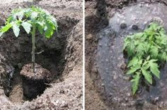This is How to Correctly Plant Tomatoes to Grow 5 ndash 8 ft Plants Tomato Seedlings, Tomato Plants, Organic Bone Meal, Varieties Of Tomatoes, Soil Layers, Old Trees, Tomato Garden, Growing Tomatoes