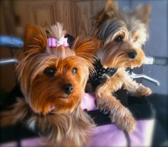 Bella & Molly Yorkies