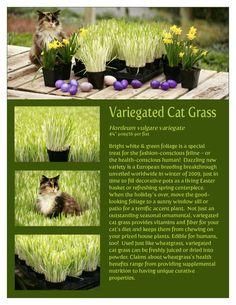 Catnip Grass #catnip - Find out more about Cat nip at Catsincare.com!