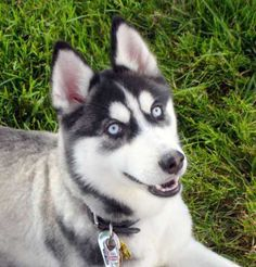 Beautiful Eyes - A blue-eyed Siberian Husky