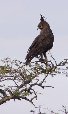 Long-crested eagle (Lophaetus occipitalis) by Derek Keats, via Flickr