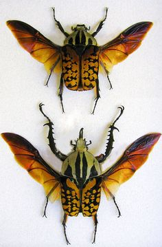 Payton Henry: Mecynorrhina Oberthuri Decorata from Tanzania. Insects Names, Bugs And Insects, Neenah Paper, Museum Displays, Butterfly Frame, Picture Hangers, Tanzania, Shadow Box, My Arts