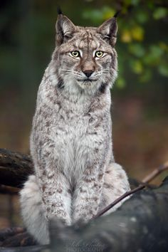 ~~European Lynx ~ What's your problem? Do you want a photo? by seb-photos~~