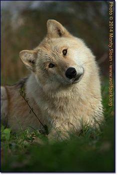 Wolf Den Shared Wolf Park Photo