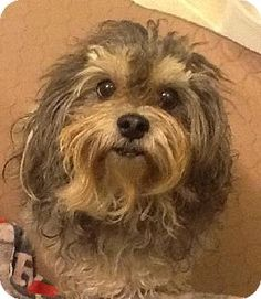 Yardley, PA - Shih Tzu/Poodle (Miniature) Mix. Meet Eddie Van Halen~B, a dog for adoption. http://www.adoptapet.com/pet/12163347-yardley-pennsylvania-shih-tzu-mix
