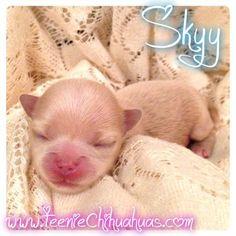 Chihuahua puppies for sale, chihuahua for sale, akc chihuahua, chihuahua…