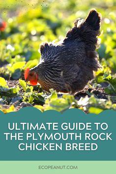 Chicken Breeds, Chicken Coops, Plymouth Rock Chicken, Chicken Bird, Raising Chickens, Chickens Backyard, Outdoor Stuff, Hens, Porches