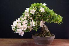 Bonsai - Satsuki Azalea