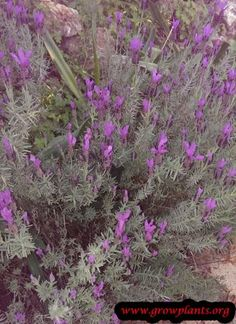 Lavender plant - How to grow & care Lavender Plants, Growing Lavender, Season Colors, Garden, Garten, Gardens, Tuin, Yard