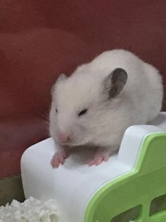 Me on Monday mornings #aww #Cutehamsters #hamster #hamstersofpinterest #boopthesnoot #cuddle #fluffy #animals #aww #socute #derp #cute #bestfriend #itssofluffy #rodents