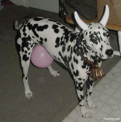 Cow Dog - great Halloween costume!