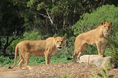 Werribee Open Range Zoo's new lionesses Nilo and Niribi are exploring their new home at Werribee Open Range Zoo.  You can now see the Nilo and Niribi, as they share access to the area with male lion, Johari.   www.zoo.org.au