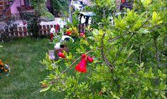 "У нас цветет гранат!!! Частный пансионат ""Окуневка Тур"" 25 июня 2014 г."