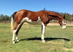 A perfect splash white. Rare Horse Colors Rare Colored Horses