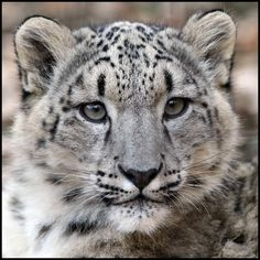 Snow Leopard (by Steve Tracy Photography)