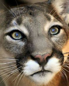 Close-Up Front View of a Cougar.