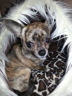 Beautiful photo of this dog melded into the background. #dogs #pets #Chihuahuas Facebook.com/sodoggonefunny Bam :(