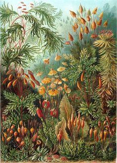 Mosses by Ernst Haeckel