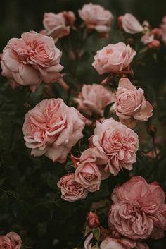 flowers background iphone pink flowers in bloom Beautiful Pink Roses, Beautiful Flowers Wallpapers, Pretty Wallpapers, Pretty Flowers, Pink Flowers, Flowers Pics, Exotic Flowers, Yellow Roses, Flower Petals