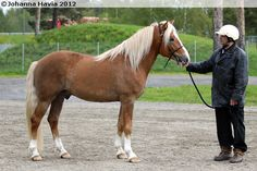 Finnhorse stallion Svartsjöfax. Chestnut with flaxen mane and tail is the traditional color of Finnhorses.