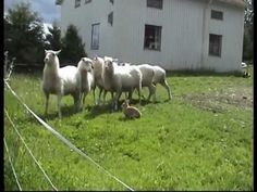 The sheep herding rabbit!  I LOVE!