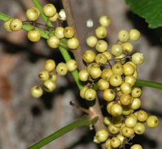Photo of the white berries of poison ivy.