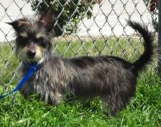 Kandi is an #adoptable Yorkshire Terrier Yorkie Dog in #Murphy, #TEXAS. Kandi is a two year old, non shedding, people loving, energetic dog. Kandi has an amazing story to be told. Kandi and her sister Mandi...